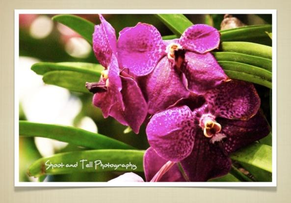 Orchids Singapore.010