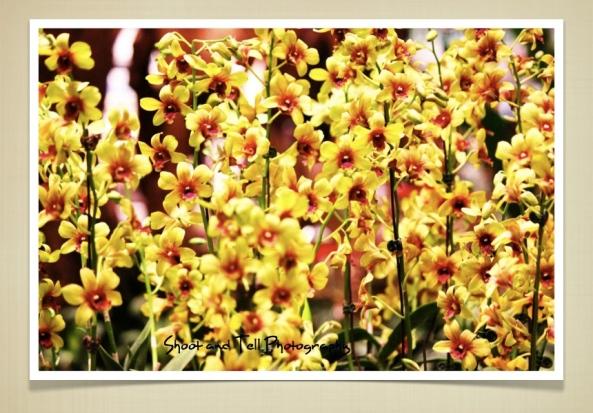 Orchids Singapore.011