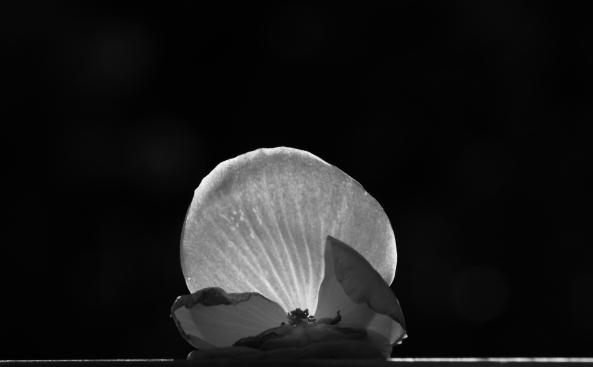 BegoniaBW