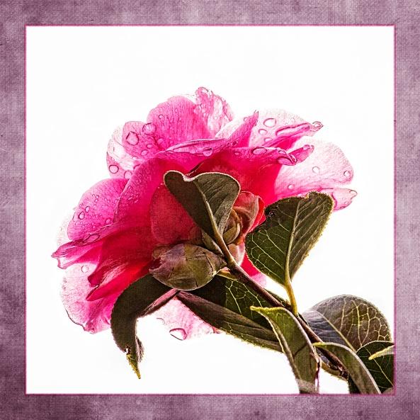 Camellia3