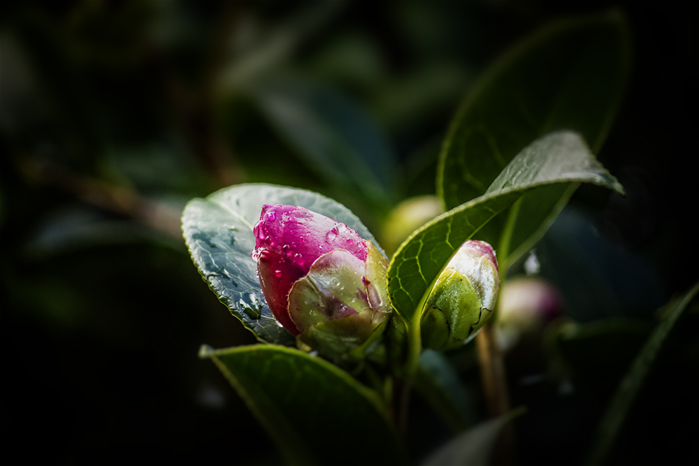 Camellia_bud